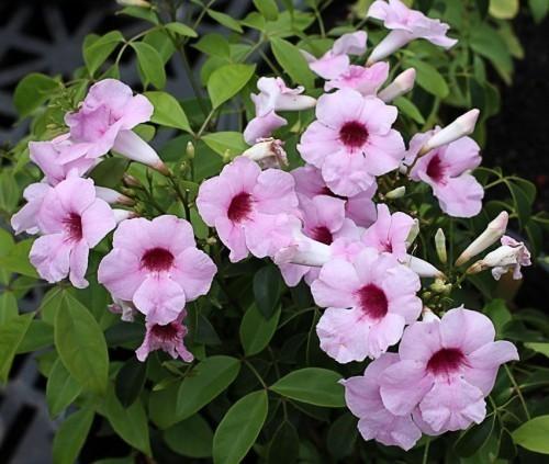 pandorea-jasminoides-pandorea-faux-jasmin