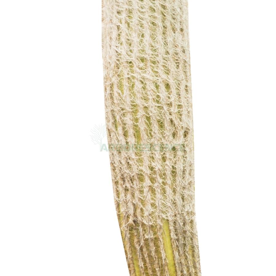 pseudo-espostoa-melanostele