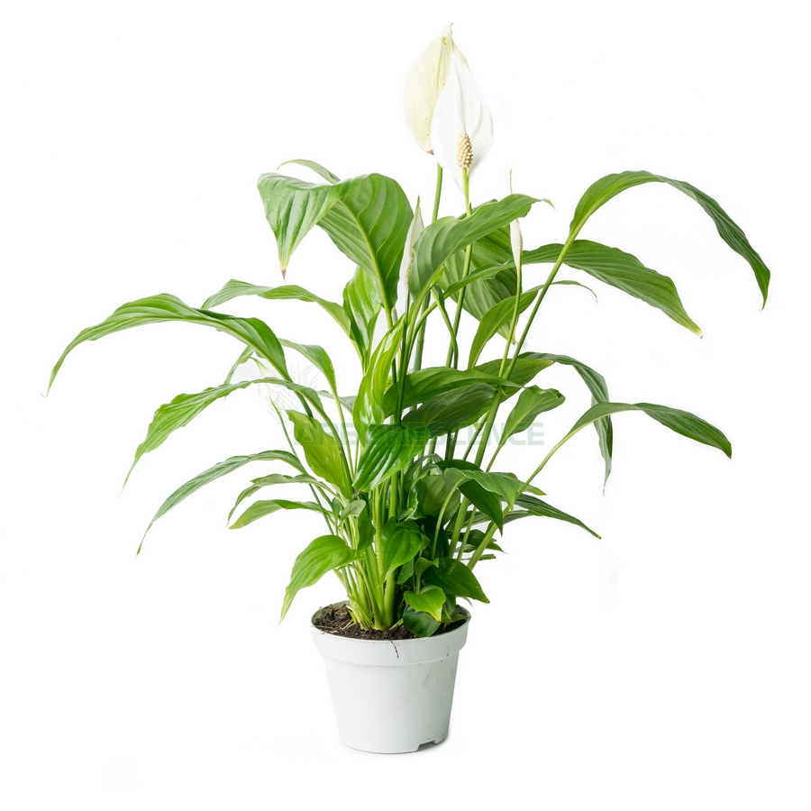spathiphyllum-sweet-silvio