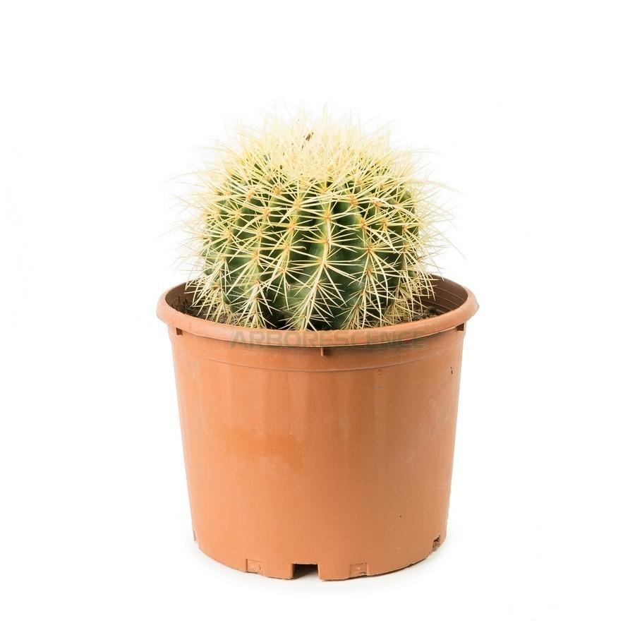 echinocactus-grusonii