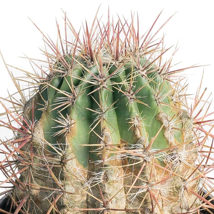 ferocactus-stainesii