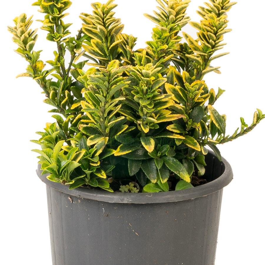 euonymus-japonicus-variegatus