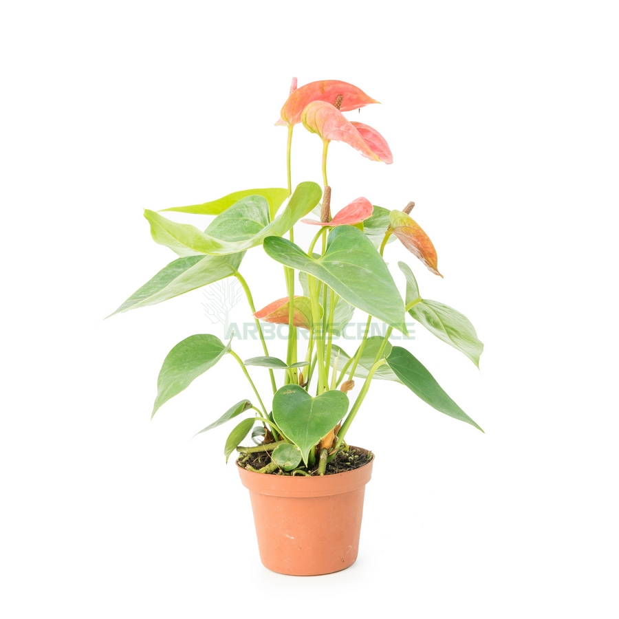 ANTHURIUM ANDR. DAKOTA