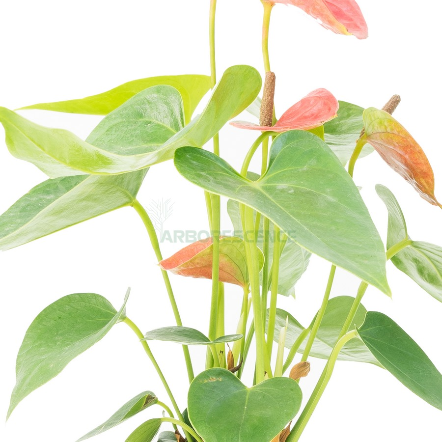 anthurium-andr-dakota